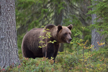 Brown bear in forest, North Karelia, Finland