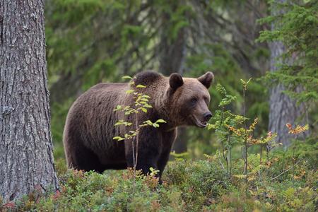 karelia: Brown bear in forest, North Karelia, Finland