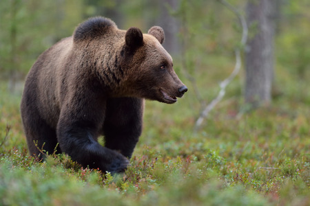 male killer: Bear walking in the forest Stock Photo