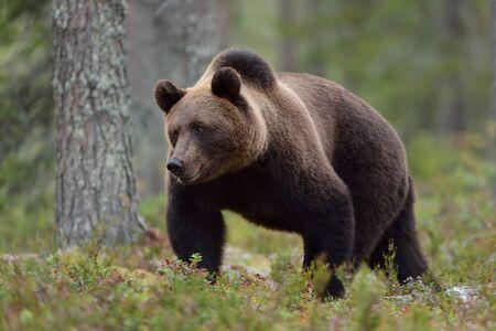 male killer: Bear walking in forest