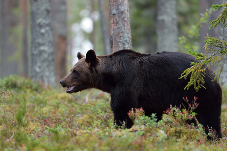low angles: Brown bear in the forest Stock Photo