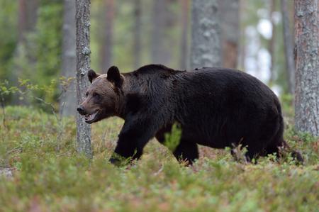 Brown bear walking in the forest Stok Fotoğraf