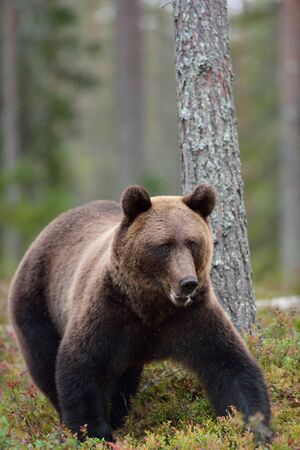 Bear in woods