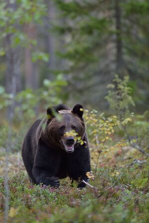 Bear in the forest, North Karelia, Finland