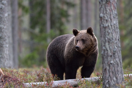 European brown bear in forest