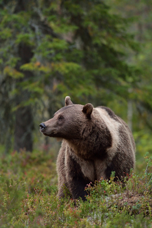 Brown bear with white-collar in the forest
