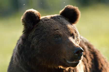 Brown bear portrait at summer Stok Fotoğraf