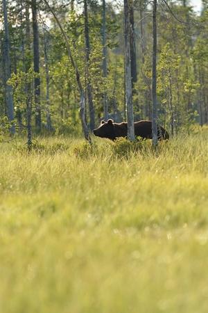 Brown bear walking in the forest near the swamp Stok Fotoğraf