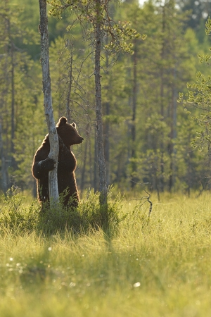 Bear standing against the tree in the bog