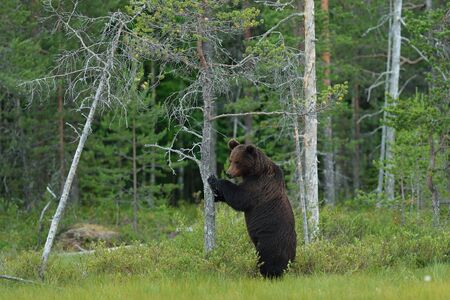 Bear standing against a tree with forest background