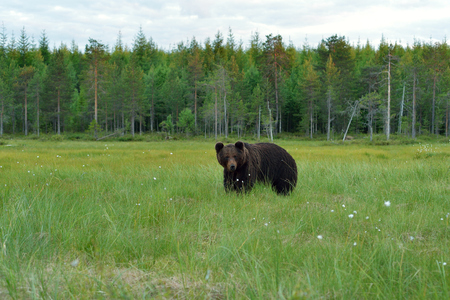 Brown bear with forest background