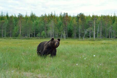 Bear in bog