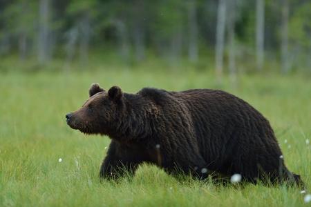 Wild brown bear walking in the bog