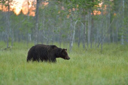 brown backgrounds: Brown bear walking in the bog at sunset
