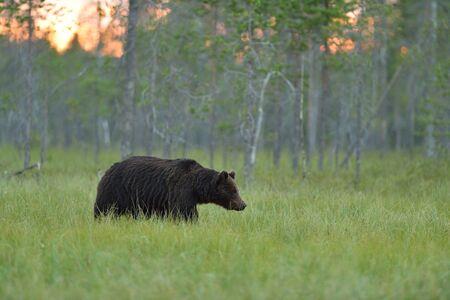 Brown bear walking in the bog at sunset