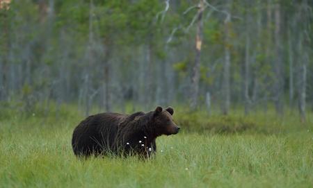 Bear in the bog, North Karelia, Finland Stok Fotoğraf