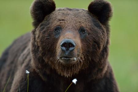 male killer: Male brown bear portrait Stock Photo