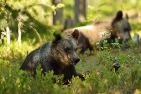 bear cub: Brown bear cub in forest Stock Photo
