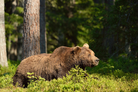 brown bear: Brown bear resting in the forest