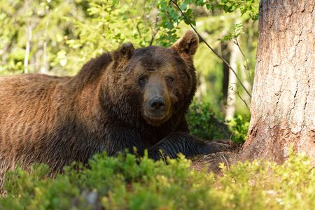 brown bear: Male brown bear resting in forest