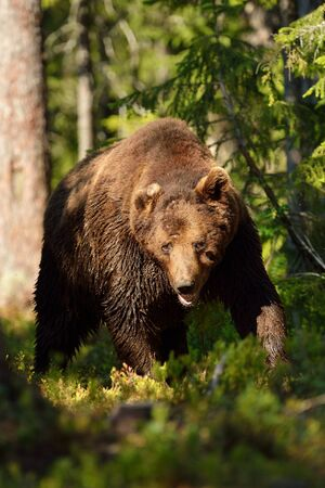 Male brown bear walking in the forest