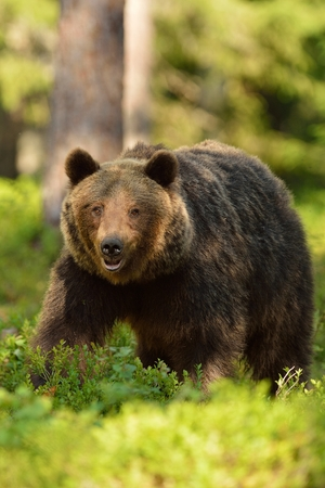 Brown bear in the forest Stok Fotoğraf