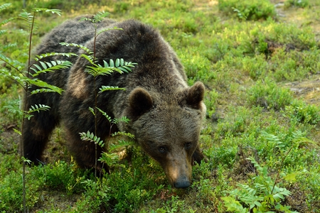 Brown bear closeup in the forest