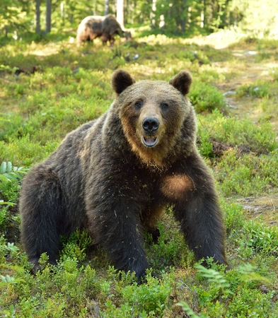 Brown bear sitting in the forest, other bear in the background
