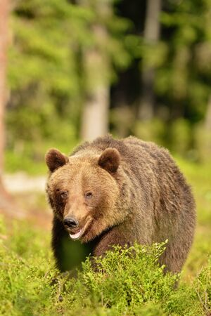 male killer: Brown bear walking in forest