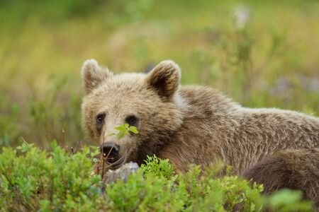 Young bear lying on the ground Stok Fotoğraf