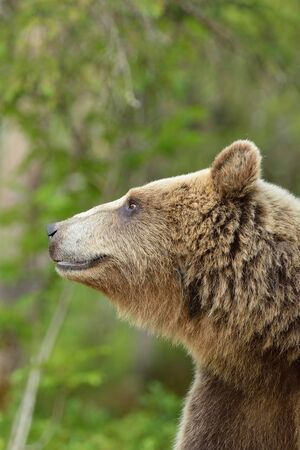 European brown bear portrait Stok Fotoğraf