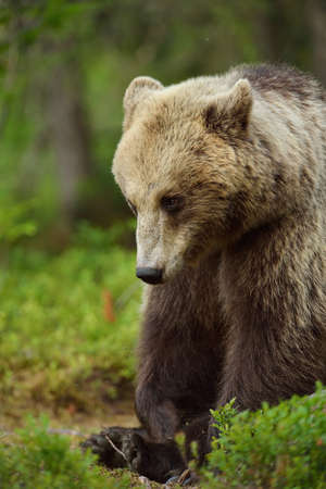 Brown bear portrait sitting in forest with mosquitoes