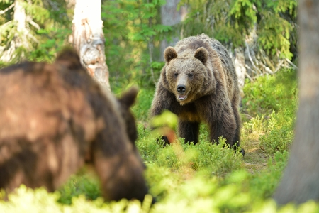 brown bear: Bears face to face