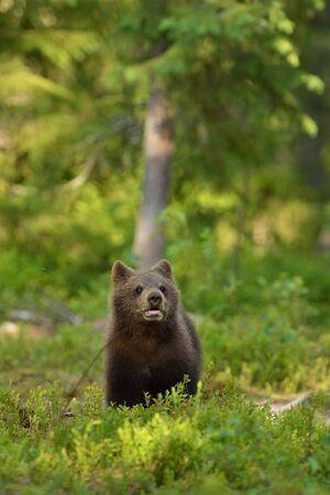 cachorro: cachorro de oso en el bosque Foto de archivo