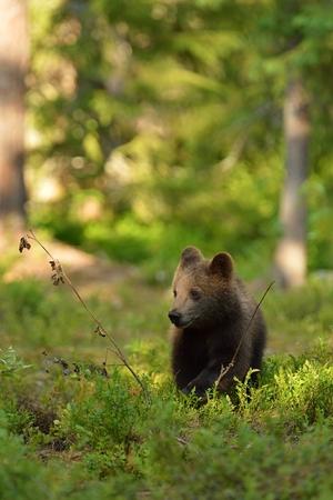 ourson: Brown ourson dans la forêt
