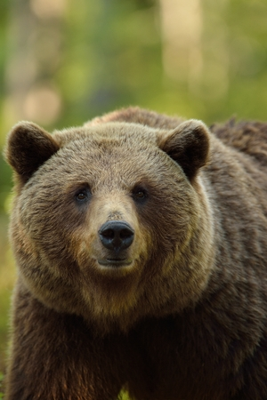 brown backgrounds: Brown bear portrait in forest Stock Photo