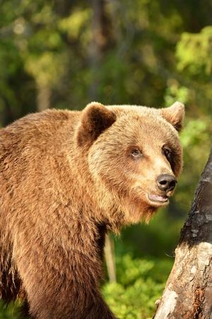 Brown bear portrait in forest Stok Fotoğraf