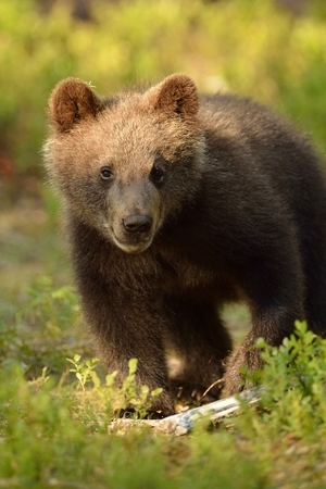 Bear cub in forest