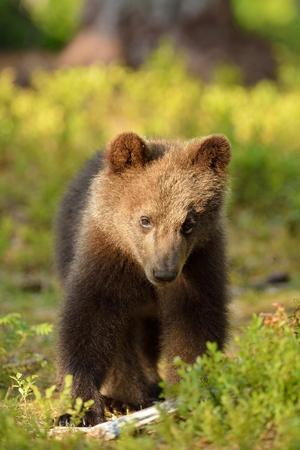 ourson: Brown portrait ourson dans la forêt