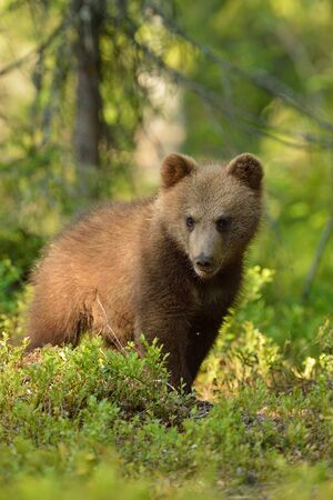Brown bear cub portrait in forest Stok Fotoğraf