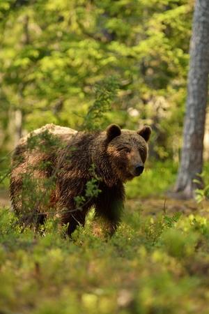 Brown bear in forest Stok Fotoğraf