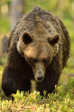 Big male brown bear walking in forest
