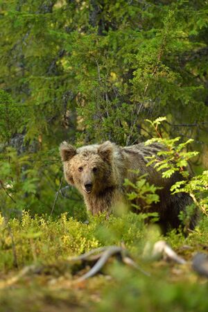 bear cub: Young bear in forest Stock Photo