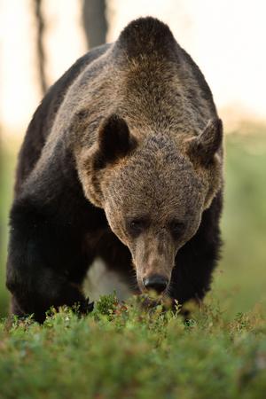 approaching bear. watch out bear. Stok Fotoğraf