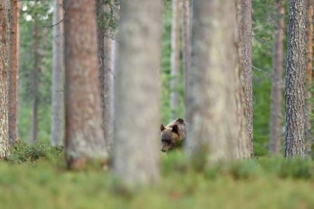 brown bear in forest. bear in taiga. watch out bear.