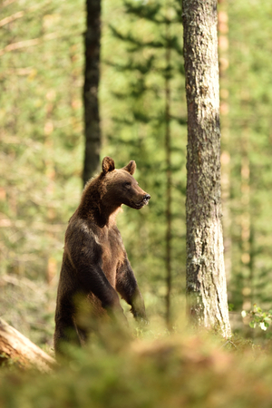 bear standing in forest. bear standing on two feet.
