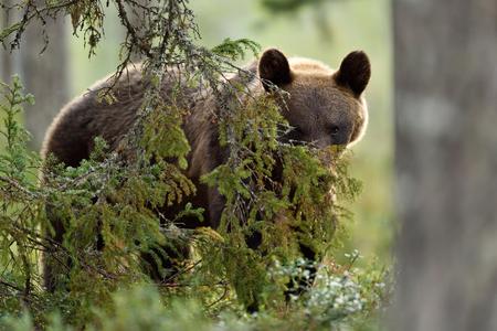 Facing brown bear. Eye to eye with bear. Bear peeking. Glimpse of bear.