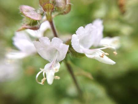 バジルの花 写真素材