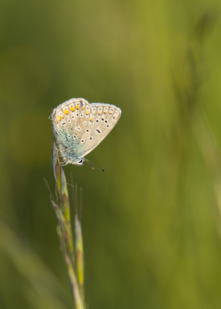 speckled: speckled butterfly on grass Stock Photo