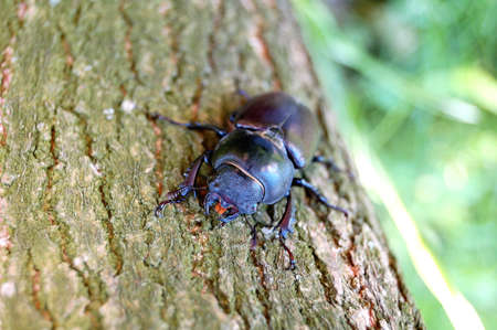 scrambling: small black bug scrambling on the brown tree. background is green grass Stock Photo